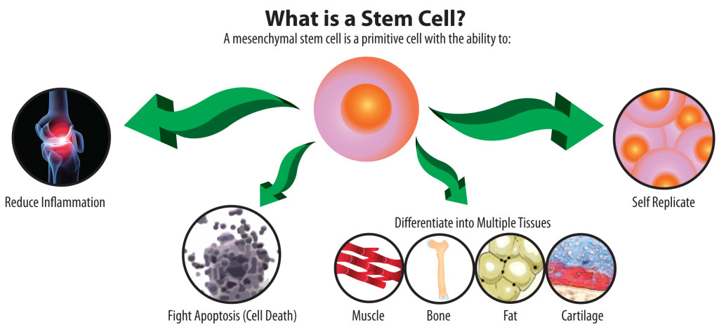 Stem cells & their status in India
